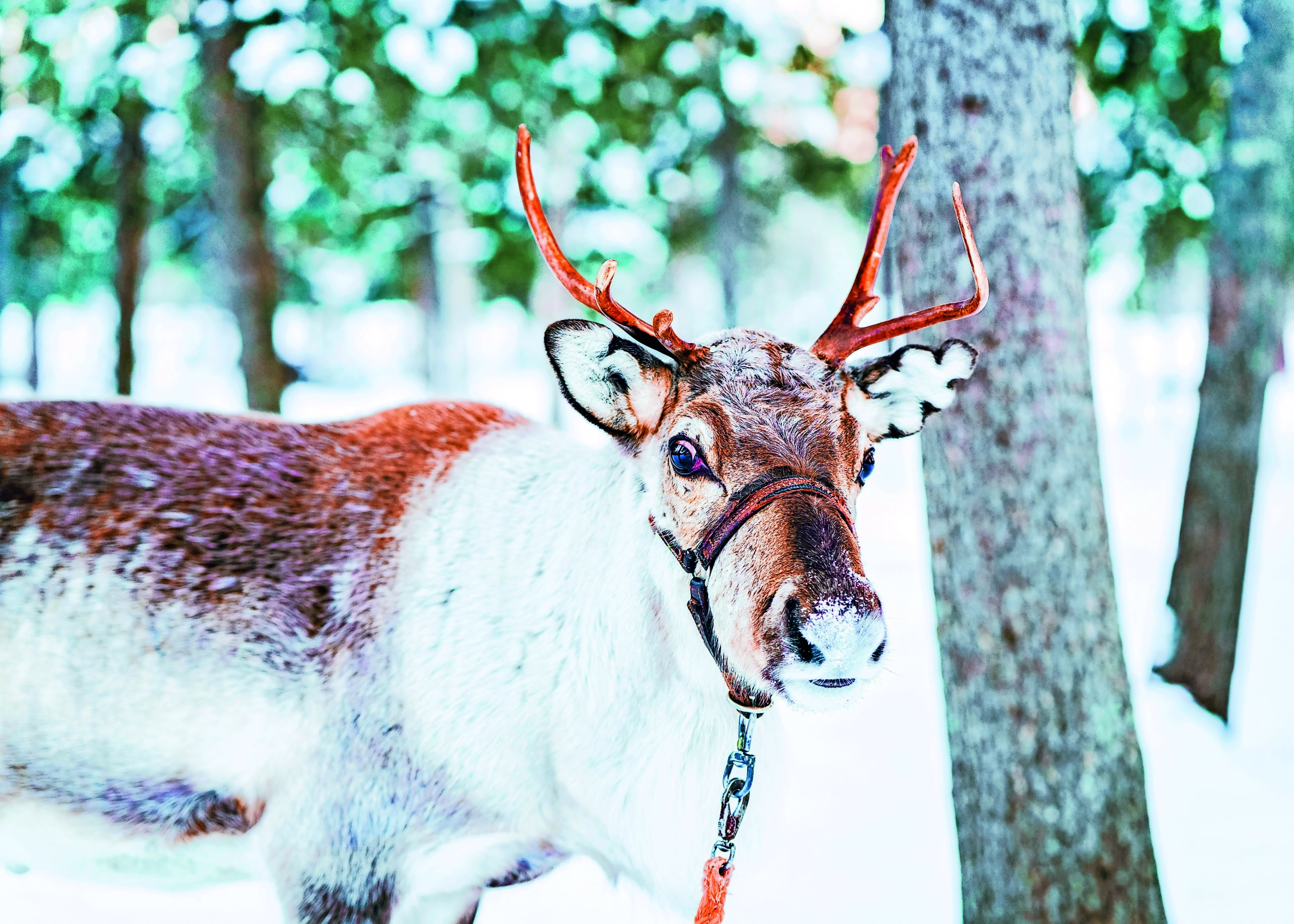 Brown Reindeer in Finland in Lapland at winter.
